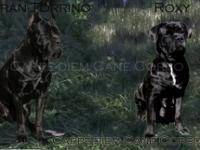 FIRST PICTURE IS THE PARENTS Hi Carpe-diem Cane Corso