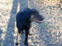 12 month old Lab Male Black AKC reg. Bought to train,