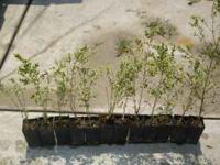 12 Small starter bushes--need to be planted. In small