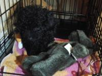 Female black Toy Poodle puppy for sale. She weighs 2.6
