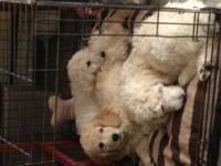 We have 2 beautiful white goldendoodle puppies, Larry &