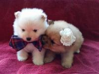 12 Week old pure bred pomeranian puppies, 1 cream male,