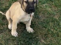 12 week old Presa Canario ready to go to a great