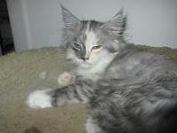 12 week old purebred Maine Coon Kitten. She is a calico