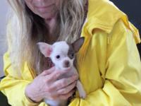 Tiny shorthair male Chihuahuas are now ready to go to a