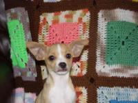 I HAVE A MALE CKC REG CHIHUAHUA MALE PUPPIE HAD 2 SHOTS