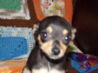 I HAVE A CKC FEMALE TINY CHIHUAHUA SHE HAD 2 SHOTS AND