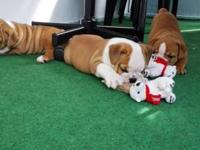 Hello, I need to a home my 13 weeks old English Bulldog