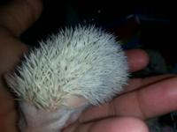 i have 1 baby hedgehog left to sell she is very sweet