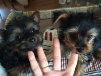 2 little yorkie males will be 4.5-5 pounds full grown.