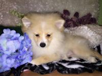 Biscuit is a 12 wk old AKC registered, Male, cream
