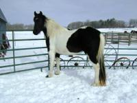 Big black and beautiful. Fearless 15hh trail mare for