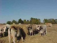 WE HAVE FOR SALE 13 BRAHMAN COWS THAT WILL START TO