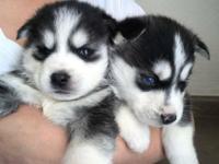 My Beautiful Siberian Husky puppies,Tyra (Female)