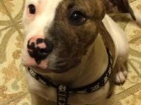 Max is 12wk American bulldog. He has documents, and