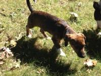 Female daschund mix young puppy. She is doing fantastic