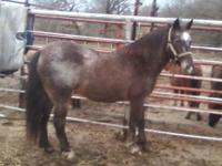 SPLASH is a 12 year old POA Mare that stands 12 hands