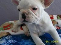 13 week aged new puppies mommy is AKC French Bulldog