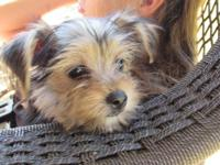 We have one darling Morkie girl available. She is small