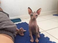 Sphynx kittens for adoption.Kittens are 13 weeks old,