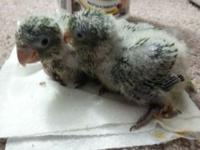 $130 Baby Quaker Parrots , 5 weeks old , for