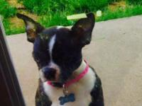 I have a 13 week old Boston Terrier puppy looking for