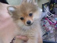 I have one super sweet 13 week old Pomeranian puppy. He