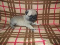 Animal Type: Dogs Breed: French Bulldog 13Weeks Old