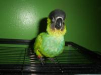 2 nanday conure babies, both are about 14 weeks old and