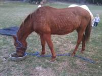 14 year old sorrel gelding very sweet and loving bottom