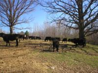 145 top quality black & black baldie Angus heifers.