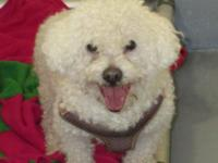 Little Bichon or Bichon mix found as a stray. Approx 4