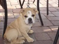 14 Week old English bulldog puppy. Fawn and white in