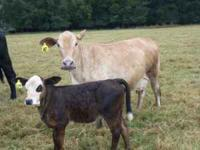 I have 15 beef calves including Angus, Brangus,