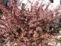 Barberry shrub. Easy to grow. Low maintence. 2 years