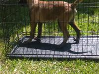Belgian Malinois female puppy ready for her new home.