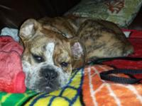 15 week old female brindle Olde English Bulldoggee.