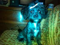 I have a 15 week old female shih poo puppy she is very