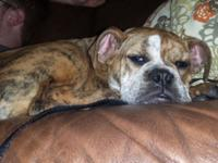 15 week old Olde English Bulldoggee. Brindle female.
