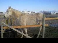 15 yo TB grey mare for sale. Nothing wrong with her