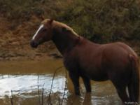 Bubba is a 15 yr old sorrel gelding that stands 14.3