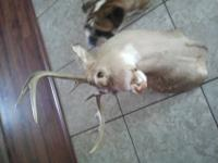 I have a 8point pink nose Buck Head Stuffed and mounted
