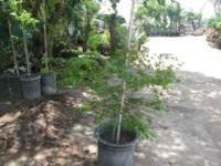 beautyful japanese maple trees in 15 gal containers