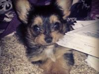 Harleigh-Jo is a valuable 16 week aged teacup Yorkie.