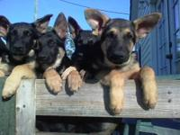 4 Beautiful female German Shepherd puppies are waiting