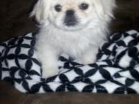 Wht female Fawn Male 16wk old Pekingese Puppies. 1st