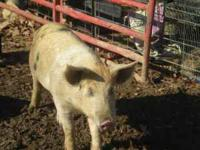 We have a 17 mo old 1/2 Gloucestershire Old Spot boar