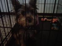 Description 17 week old tiny yorkie male looking for a