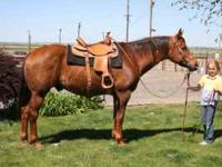 "Stanley is a beautiful 17 year old AQHA, ""been there,"