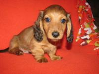 AKC MINI DACHSHUND MALE, RED LONG HAIR WITH 176